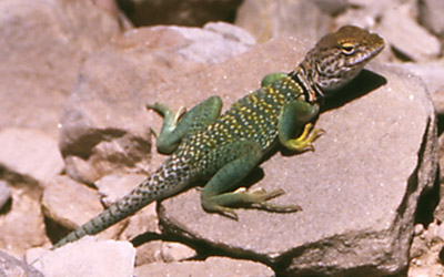 Photo of lizard by John Hunter