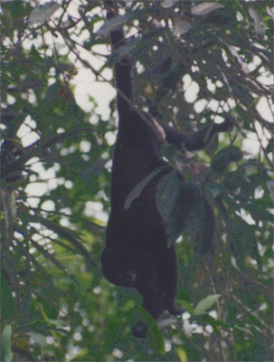 Photo of howler monkey in tree