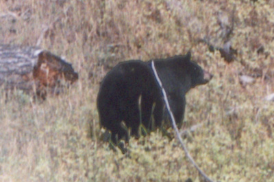 Photo of bear in Yellowstone