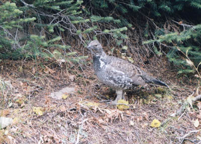 Photo of a grouse