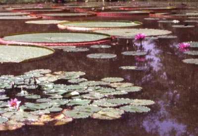 Lilypads in the National Arboretum