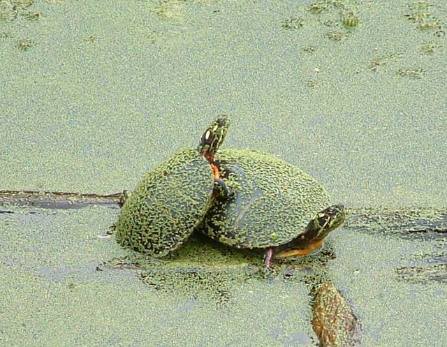 photo of turtles in green pond