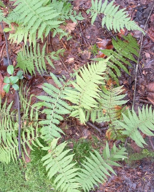 photo of ferns on the Appalachian Trail, Pennsylvania, 2003