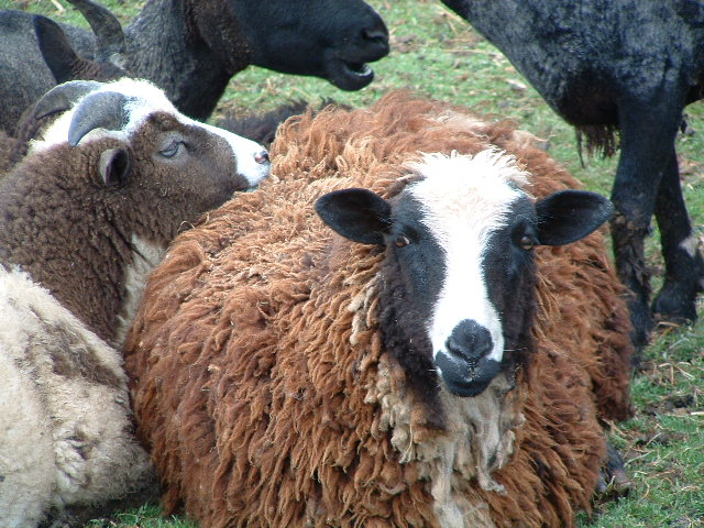 picture of Sheep, Shaker Village of Pleasant Hill, Kentucky