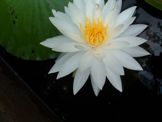 photo of water lilly flower