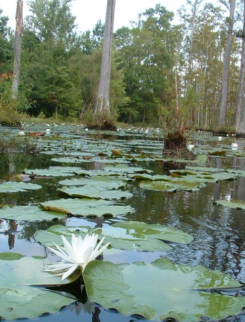 photo of water lilies