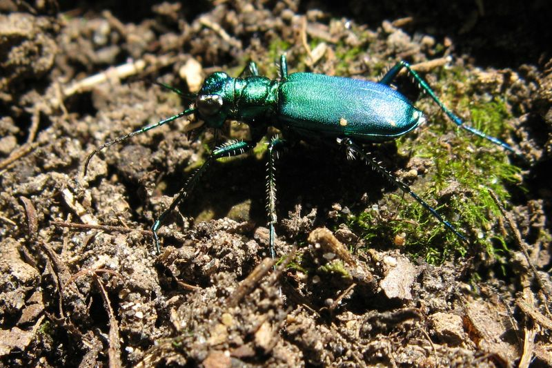Green Bettle - Clifton Gorge State Nature Preserve