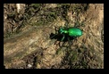 Green Beetle - Clifton Gorge State Nature Preserve