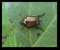 Japanese Beetle - Clifton Gorge State Nature Preserve